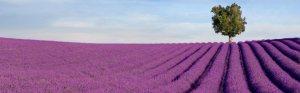 banner_lavender